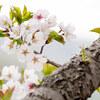 GWの最終日は美唄の東明公園に桜を撮りに行ってきたよ!