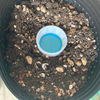 茎ブロッコリ―栽培(プランター)・・・防虫ネットで虫対策、種蒔後約3か月から収穫はじまり。