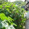 ハーブティー材料の花の収穫最盛期です。