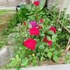 小さい薔薇の花と、「待賢門院」&「堀河局」