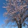 【北海道の桜はGWが見頃】お花見散歩♪