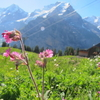 天に召されたお母様に捧げるスイスの花の写真(2))
