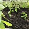 秋トマト&秋きゅうりを植え付けた話