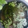 睡蓮鉢にヤゴが出た続き。イトトンボ。