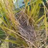 稲にできていた鳥の巣に卵を産んだかな?