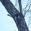 北海道旅行 -Day2  網走湖畔で鳥見、オオアカゲラ・アカゲラ・ノビタキなど-
