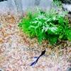 【自然の神秘3】青い宝石💎ベタ  自然をなめたらあかんぜよ編