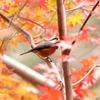 紅葉と鳥さん