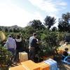 河合果樹園 第11回、みかんの収穫祭