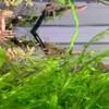 ヤマトヌマエビ孵化7ヶ月目