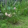 我が家の庭の観察記録㉞