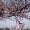 お花見会を開催|新横浜の就労移行支援・継続A型【個別支援型】