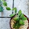 🌵多肉植物    伸び伸びなペンデンス 🌵