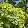 神戸)石屋川散歩。新緑がきれい。