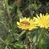 セイヨウミツバチ(たぶん)
