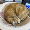 7月後半の #ねこ #cat #猫 どらやきちゃんA