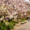 日比谷花壇大船フラワーセンターの桜とシャクナゲ♪