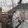 道端に咲く木の花 ~桜に負けじと