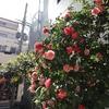 神戸)元町。兵庫県公館、花盛り。 EOS M200+EF-M11-22mm F4-5.6。