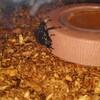 コクワガタの越冬中の餌をどうすればいいのか。
