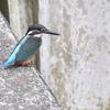 黒目川の幼鳥たち