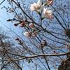 桜、高熱。