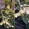 ノリウツギとカシワバアジサイ アジサイの季節.紫陽花以外にも,アジサイ属の花々に出会えました.ノリウツギとカシワバアジサイはともに穂咲きのごく近縁植物.原産地は東アジアとアメリカと遠く離れていますが.ノリウツギは糊空木で,手漉き和紙をつくる時の粘剤として,トロロアオイとともに現在も用いられているとのこと.貴重な和紙文化を支える重要な植物がノリウツギ.知りませんでした.