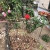 鉢植えのクリスマスローズ、夏越しの準備