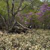 赤城 ツツジ群れ咲く利平茶屋森林公園から鳥居峠