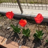 チューリップ、開花へ