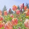 新潟の県花 チューリップ