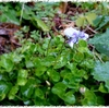 猫の子は菫の花をねふりけり 松瀬青々