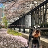 【2019】月島の桜🌸
