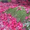 紅葉 散り始めの宮島 紅葉谷公園で苔とモミジにいやされる