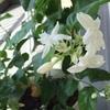 花の香りと花の顔