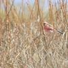赤い鳥さん
