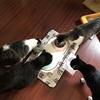 【たかんぼ14日目】【先住猫と新入り猫】