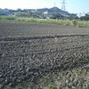 父が借りた畑にサツマイモの蔓を植える