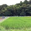 【ポケモンGO】黒川のセレサモスから樹齢400年の山桜へポケストップめぐりの散歩