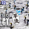1212【カワウが大群で狩り】シジュウカラが捕食、小さな猛禽モズ。大きなセグロカモメ、カワセミとカイツブリの糞、クサガメにアカミミガメメラニズム #今日撮り野鳥動画まとめ #身近な生き物語