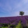 夏の上富良野町の風景~日の出公園のラベンダー/麦畑と夏の空~