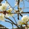 桜の開花、思いつくまま