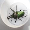 ニジイロクワガタ(スーパーグリーン血統)飼育記録 ~幼虫から成虫・産卵まで~