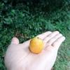 秋に実るオレンジの実『ブラジルヤシ』を食べてみる!