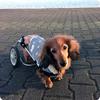 車椅子犬からのお願い ~どうか皆さん、気を使ってあげて~