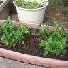 プランターにビオラとチューリップを植える