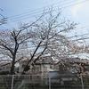 早くも桜が咲きました。