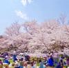 京都で桜を見るなら『京都府立植物園』がおすすめですよ!