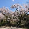 R290桜街道 🏍駆けて花見で沈♨