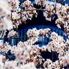 むしゃくしゃしたので桜を撮りに行ってきた。